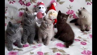 British Shorthair kittens of different colors | Very cute video
