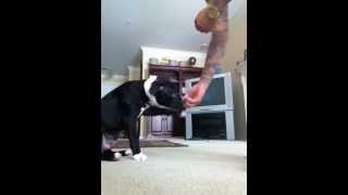 "Pitbull Puppy Training ""g"" 12 Weeks Commands With Treats"