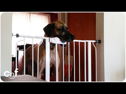 The Great Dane Escape | Dog Figures Out Lock