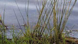 Плавающие насекомые, водомерки