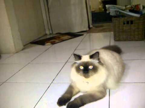 Kucing Himalaya (si Cemong)