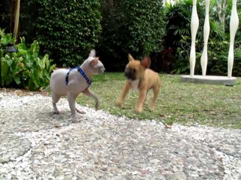 SPHYNX CAT vs FRENCH BULLDOG, Round 5