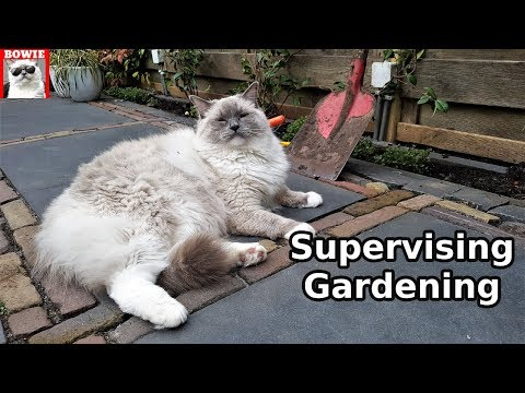 Supervising Gardening | Typical Behavior of a Ragdoll Cat
