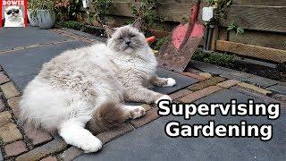 Supervising Gardening   Typical Behavior of a Ragdoll Cat