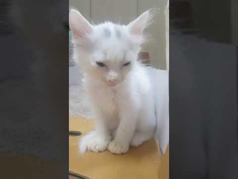 Turkish Angora Cat Kitten Short Hair D 42 Sleepy1 Youtube