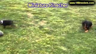 Min Pin, Puppies, For, Sale, In, Minneapolis, Minnesota, Mn, Inver Grove Heights, Roseville, Cottage