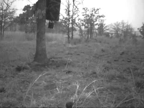 Coyote chases deer and rabbit