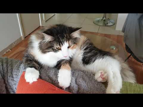 Norwegian Forest Cat cheeky snuggles