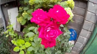 Природный букет ярких цветущих красных роз, которые растут на небольшом участке с разными растениями