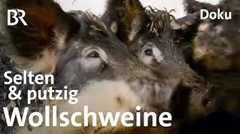 Wollschweine aus Oberfranken: Eine echte Sauerei   Zwischen Spessart und Karwendel   BR