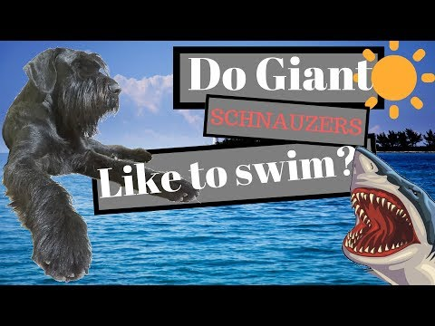 Giant Schnauzer like a fish in water - BlackDogProduction