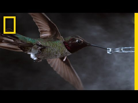 Thumbnail: See Hummingbirds Fly, Shake, Drink in Amazing Slow Motion | National Geographic
