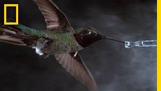 See Hummingbirds Fly, Shake, Drink in Amazing Slow Motion | National Geographic