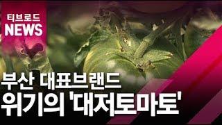 [부산]부산 대표 브랜드 '대저토마토' …