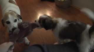 Tug-of-war With My Dogs Andie And Bernie!