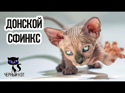 ✔ Донской сфинкс плюсы и минусы породы