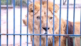 Watch Five Abandoned Lions Feel Grass for the First Time