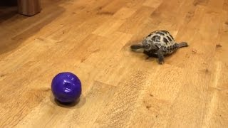 Tortoise Chases Ball Like A Dog | What's Trending Now!