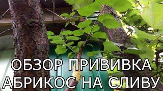 Обзор прививка плодовых деревьев. Прививка абрикоса на сливу. Как лучше прививать плодовые деревья(Прививка абрикоса на сливу была сделана весной способом улучшенная копулировка.Сейчас произведём обзор..., 2016-09-21T12:39:30.000Z)