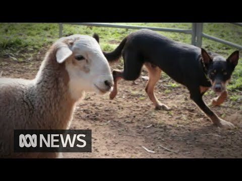 Urban dogs suffering anxiety given some outback therapy | ABC News