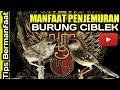 Ciblek Manfaat Penjemuran Burung Ciblek  Mp3 - Mp4 Download