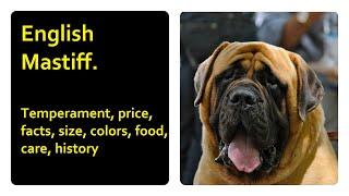 English Mastiff. Temperament, price, facts, size, colors, food, care, history
