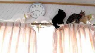 まさかの行き止まり! カーテンレールの上でおろおろする猫たち