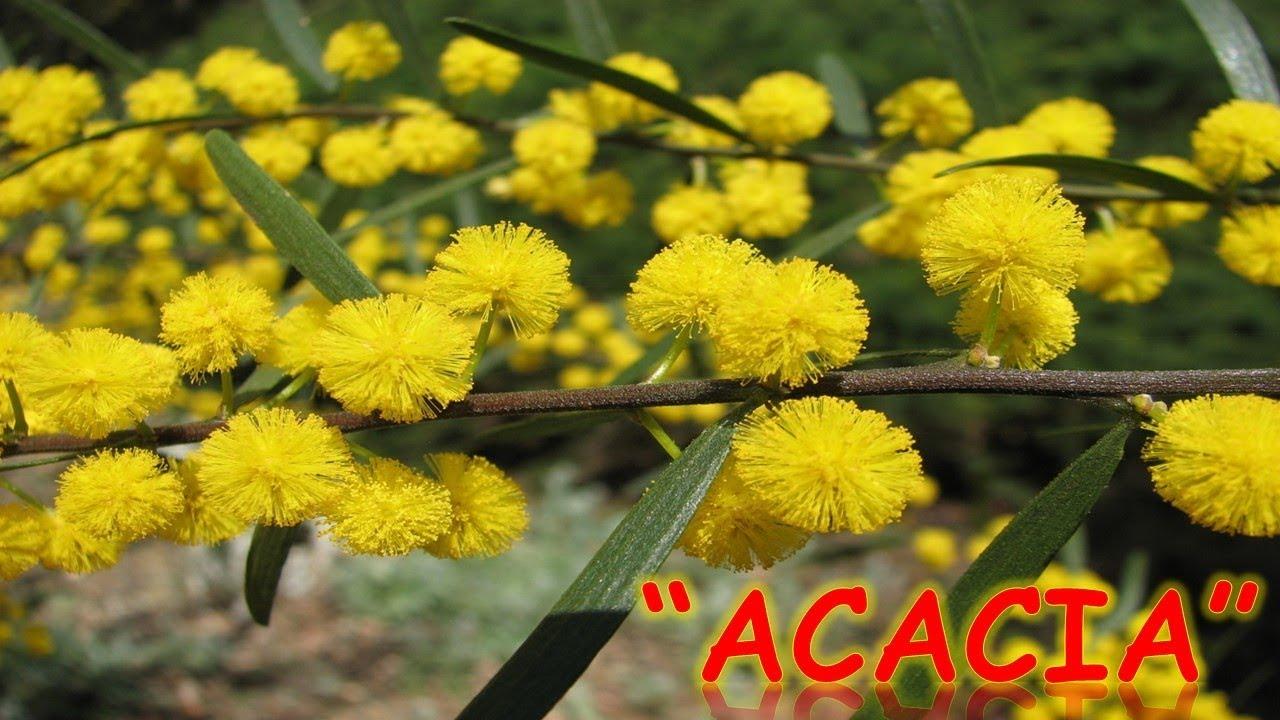 Acacia de la india para adelgazar