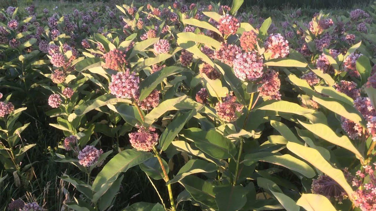 Ваточник фото цветок
