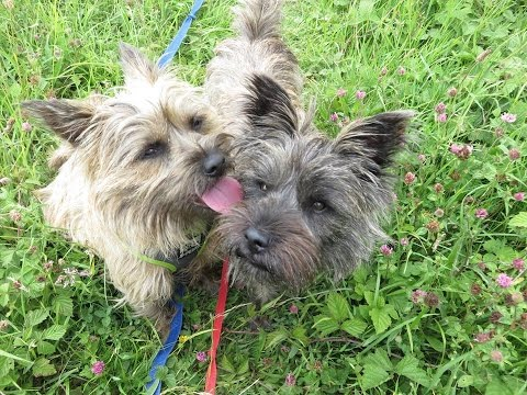 Neo & Zula  Cairn Terriers  4 Week Residential Dog Training at Adolescent Dogs
