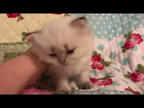 Snow White - Teacup Seal Lynx Point Himalayan Kitten from Daphne's Dolls Cattery