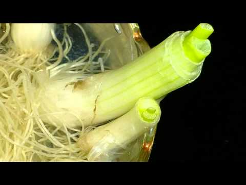 Growing Spring Onion at home Raft Hydroponics