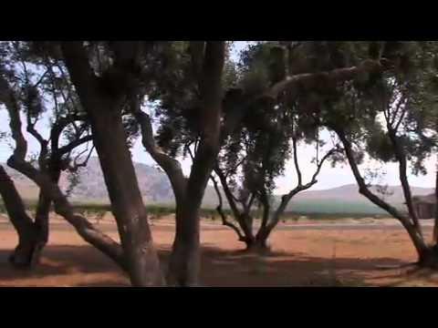 Farming California Ripe Olives.mov