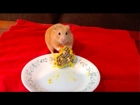 My Cute Adorable Hamster Eating His First Birthday Cake YouTube - Hamster birthday cake