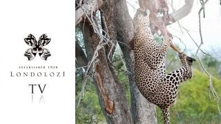 Massive Male Leopard Hoists Kill and Feeds in Tree - Londolozi