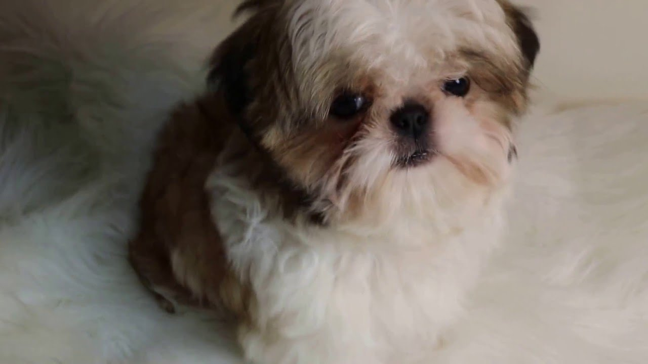 IMPERIAL SHIH TZU PUPPIES, SHIH TZU PUPPIES, FOR SALE