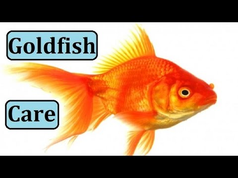 how to take care of goldfish in aquarium