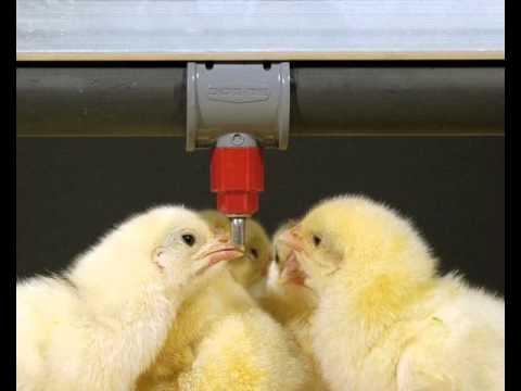 Поилка, кормушки, поилка для птиц, кормушка для птиц, кормушка для кур, ниппельная поилка, поилки для цыплят, бункерные кормушки, птицеводство оборудование, кормушки и поилки · поилки, кормушки для домашней птицы со скидкой · поилки, кормушки для домашней птицы оптом. Другие страны.