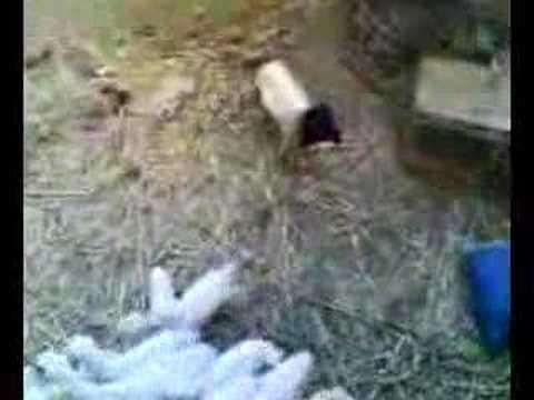 Maskeli Kuzu FENA KOMİK / Sheep with  The...