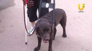 Собака-проводник новый член общества слепых.