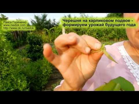 Черешня на карликовом подвое   формируем урожай будущего года