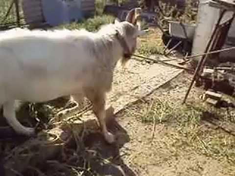 Случка зааненского козла с молодой зааненской козочкой