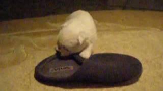 West Highland White Terrier - Szczeniaki 12.2010