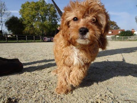 Walter - Cavapoo - 4 Weeks Residential Dog Training