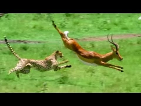 Triumph Of The Herbivores | Prey Escapes Predator | Life Of Mammals | BBC Earth