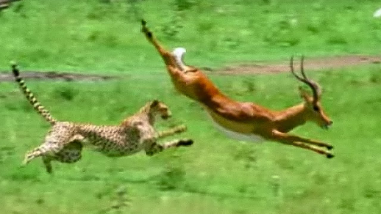 How Do Lions Hunt and Kill Their Prey?   Owlcation