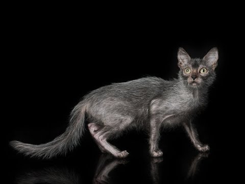 Lykoi Cat | Lykoi Cat 101 | Lykoi Cat Breed