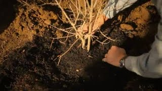 How to Plant a Pomegranate Tree : Professional Gardening Tips