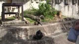 Higashiyama zoo The gorilla family (シャバーニ)群れの秩序を保つ為の...