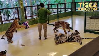 Tiger Cubs Playtime - Tiger Kingdom Phuket -  Feb 2020